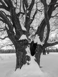 μονοχρωματική εικόνα Βαθύς κοίλος στο τεράστιο χιονισμένο αρχαίο δρύινο δέντρο Στοκ φωτογραφία με δικαίωμα ελεύθερης χρήσης