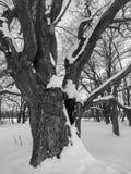 μονοχρωματική εικόνα Βαθύς κοίλος στο τεράστιο χιονισμένο αρχαίο δρύινο δέντρο Στοκ Εικόνα