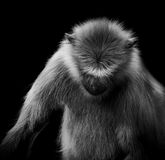 Μονοχρωματική εικόνα του πιθήκου Langur Στοκ Εικόνες