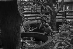 Μονοχρωματικός παπαγάλος, solstitialis Conure Aratinga ήλιων, που στέκεται στον κλάδο, σχεδιάγραμμα στηθών Στοκ εικόνες με δικαίωμα ελεύθερης χρήσης