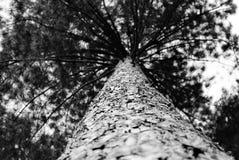 μονοχρωματικό δέντρο πεύκων Στοκ εικόνα με δικαίωμα ελεύθερης χρήσης