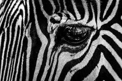 Μονο κινηματογράφηση σε πρώτο πλάνο του ματιού του με ραβδώσεις Grevy Στοκ Φωτογραφίες