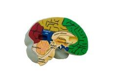 μοντέλο εγκεφάλου Στοκ φωτογραφία με δικαίωμα ελεύθερης χρήσης