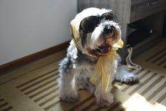 Μοντέρνο και μοντέρνο μικροσκοπικό σκυλί schnauzer όλο το ντυμένο επάνω τ Στοκ φωτογραφίες με δικαίωμα ελεύθερης χρήσης