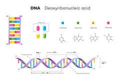 Μοριακή δομή του DNA Εκπαιδευτική διανυσματική απεικόνιση Infographic απεικόνιση αποθεμάτων