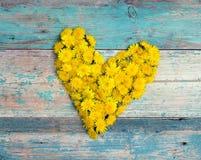 Μορφή καρδιών από τις κίτρινες πικραλίδες στο παλαιό τυρκουάζ ξύλινο backgr Στοκ Εικόνες