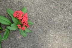 Μορφή καρδιών Ixora στο σκυρόδεμα στοκ εικόνα με δικαίωμα ελεύθερης χρήσης
