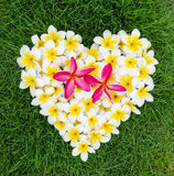 Μορφή καρδιών Plumeria ή Frangipani Στοκ Εικόνα