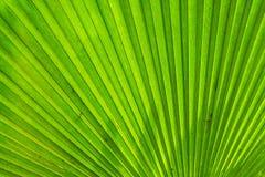 Μορφή του φύλλου φοινικών ανεμιστήρων των Φίτζι στοκ εικόνες με δικαίωμα ελεύθερης χρήσης