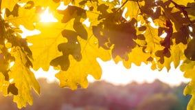 Μορφή των κίτρινων δρύινων φύλλων δέντρων στο θερμό φως ήλιων Αναδρομικά φωτισμένες φλόγες μέσω του φυλλώματος Στοκ Φωτογραφία