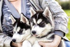 Μορφασμός σκυλιών δυσνόητος Γεροδεμένος Malamut Στοκ Φωτογραφίες