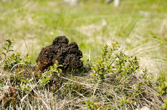 Μορχέλλη (Gyromitra esculenta) Στοκ Εικόνα