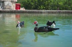 Μοσχοβολιστά επιπλέοντα σώματα παπιών shipun στο νερό στοκ φωτογραφία με δικαίωμα ελεύθερης χρήσης