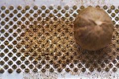 μοσχοκάρυδο Στοκ εικόνες με δικαίωμα ελεύθερης χρήσης