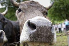 Μουγκρητό αγελάδων Στοκ Εικόνες