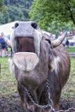Μουγκρητό αγελάδων Στοκ φωτογραφία με δικαίωμα ελεύθερης χρήσης