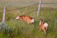 μουλάρι δύο ελαφιών fawns στοκ εικόνα
