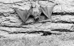 Μουσείο της φύσης i Μικρός ειδών ροπάλων ματιών κακώς που αναπτύσσεται Ρόπαλο στοκ φωτογραφίες με δικαίωμα ελεύθερης χρήσης