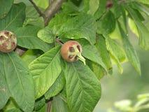 Μουσμουλιά στο δέντρο Στοκ εικόνες με δικαίωμα ελεύθερης χρήσης
