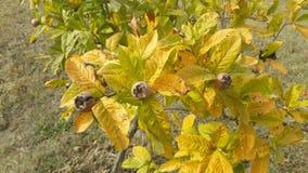 Μουσμουλιές στο οπωρωφόρο δέντρο δέντρο τοπίου κήπων φθινοπώρου Στοκ Εικόνες