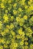 μουστάρδα πεδίων ανθών κίτρινη Στοκ Φωτογραφία