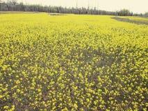 μουστάρδα πεδίων ανθών κίτρινη Στοκ Εικόνα