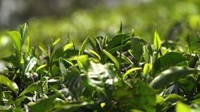 Μουτζουρωμένα φύλλα σε μια φυτεία στην Ινδία απόθεμα βίντεο