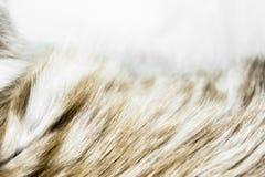 Μουτζουρωμένη και θορυβώδης μπεζ επιφάνεια υποβάθρου γουνών γατών χρώματος στοκ εικόνες