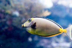 Μουτζουρωμένη φωτογραφία μιας Ιαπωνίας surgeonfish Acanthurus japonicus σε ένα ενυδρ στοκ φωτογραφίες