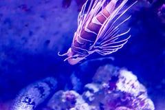 Μουτζουρωμένη φωτογραφία του antennata Spotfin lionfish lionfish σε ένα ενυδρείο θάλα στοκ φωτογραφίες