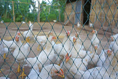 Μουτζουρωμένο άσπρο κοτόπουλο κινηματογραφήσεων σε πρώτο πλάνο πίσω από καθαρό στην ελευθερία κλουβιών όχι υπαίθρια Στοκ φωτογραφία με δικαίωμα ελεύθερης χρήσης