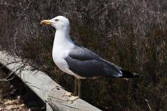 Μοχθηρό seagull Στοκ Φωτογραφίες