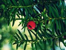 Μούρα δέντρων Yew Στοκ εικόνες με δικαίωμα ελεύθερης χρήσης