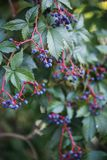 Μούρα αναρριχητικών φυτών της Βιρτζίνια στοκ εικόνες
