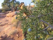 Μούρα ιουνιπέρων, κλάδοι και φύλλωμα με ένα δύσκολο υπόβαθρο ερήμων της Γιούτα κόκκινο στοκ φωτογραφίες με δικαίωμα ελεύθερης χρήσης