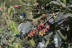 Μούρα καφέ της Κόστα Ρίκα Στοκ εικόνες με δικαίωμα ελεύθερης χρήσης