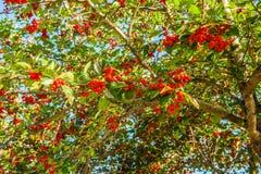 Μούρα κραταίγου σε ένα δέντρο Στοκ εικόνες με δικαίωμα ελεύθερης χρήσης