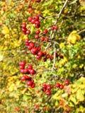 Μούρα κραταίγου το φθινόπωρο, Λιθουανία Στοκ Εικόνα