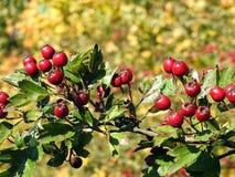 Μούρα κραταίγου το φθινόπωρο, Λιθουανία Στοκ εικόνες με δικαίωμα ελεύθερης χρήσης