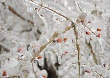 Μούρα που καλύπτονται στον πάγο Στοκ Εικόνες