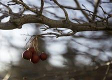 Μούρα σε ένα δέντρο Στοκ εικόνα με δικαίωμα ελεύθερης χρήσης