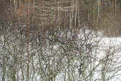 Μούρα στο Μπους στο δάσος το χειμώνα Τρόφιμα για τα πουλιά και τα ζώα το χειμώνα στις άγρια περιοχές Στοκ Εικόνες