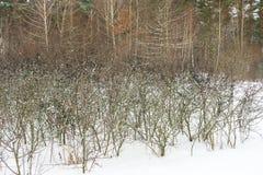 Μούρα στο Μπους στο δάσος το χειμώνα Τρόφιμα για τα πουλιά και τα ζώα το χειμώνα στις άγρια περιοχές Στοκ φωτογραφία με δικαίωμα ελεύθερης χρήσης