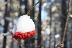 Μούρα τέφρας βουνών στο χιόνι σε έναν κλάδο ενός δέντρου Στοκ Φωτογραφία