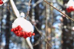 Μούρα τέφρας βουνών στο χιόνι σε έναν κλάδο ενός δέντρου Στοκ Εικόνα