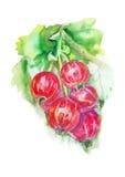 Μούρα της κόκκινης σταφίδας στον κλάδο - ζωγραφική watercolor Στοκ Φωτογραφίες