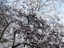 Μούρα του κόκκινου viburnum σε έναν κλάδο στο χιόνι Στοκ φωτογραφία με δικαίωμα ελεύθερης χρήσης