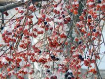 Μούρα του κόκκινου viburnum σε έναν κλάδο στο χιόνι Στοκ Εικόνες