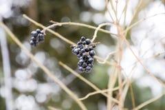 Μούρα του chokeberry aronia στους κλάδους το χειμώνα Στοκ φωτογραφία με δικαίωμα ελεύθερης χρήσης