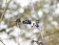 Μούρα του chokeberry aronia στους κλάδους το χειμώνα Στοκ φωτογραφίες με δικαίωμα ελεύθερης χρήσης